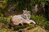 European Lynx (Lynx lynx) resting on the rock. poster