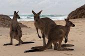 Group of Three Kangaroos on a Beach, NSW, Australia poster