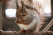 Eurasian red squirrel sitting on the branch in the cage poster