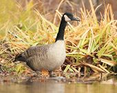 Canada Goose wading in shallow water at edge of river - Grand Bend, Ontario, Canada poster