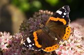 The Red Admiral or Vanessa atalanta on pink Sedum poster