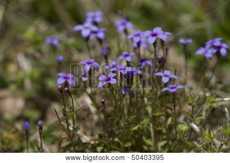 Tiny Bluet Wildflowers - Houstonia pusilla