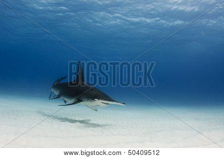 Smiling Great Gammerhead Shark