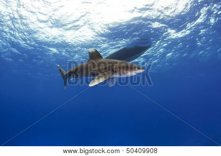 Oceanic Whitetip Shark by the Boat