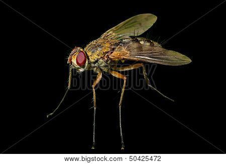 Haired Fly