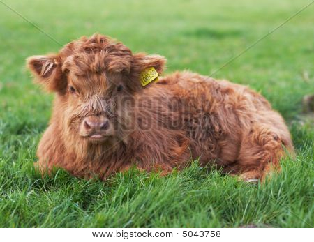 Highland Calf In Green Field