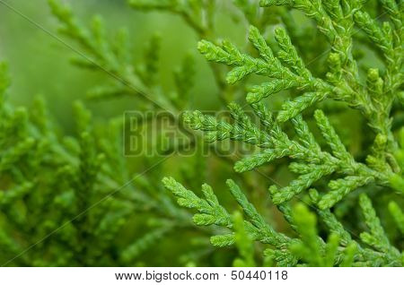 Close up Pine leaves green vibrant natural poster