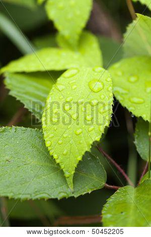 Leaf - rain drops