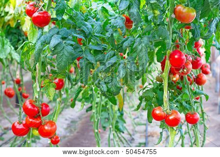 Farm of tasty red tomatoes on the bushes poster