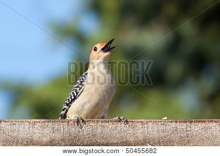 Kilroy The Woodpecker