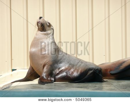 Large Seal Soaking Up The Sun At Porpoise Pool