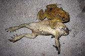 close up toad mating sex in nature poster