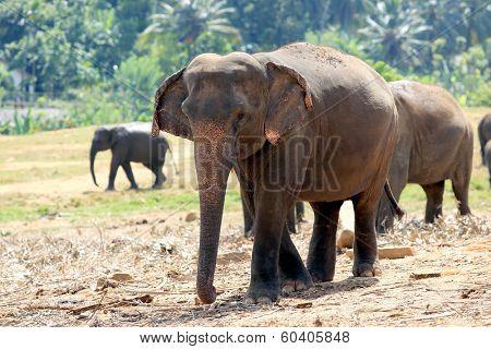 Elephants in park, Pinawella, Sri Lanka poster