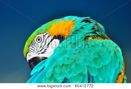 Blue And Yellow Macaw Preening