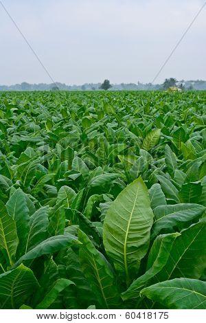 Green Tobacco Field In Thailand