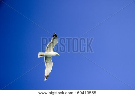 Seagull Gliding In Sky