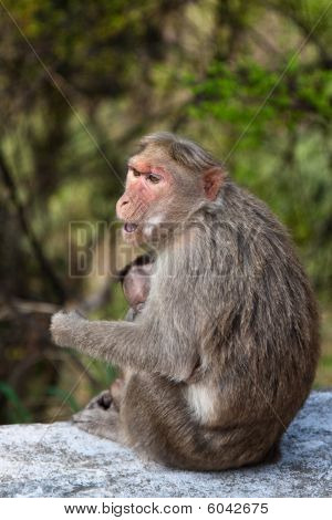 Bonnet Macaque Mother With Young