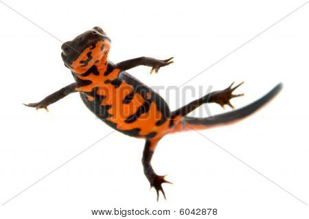 Swimming Fire Bellied Newt