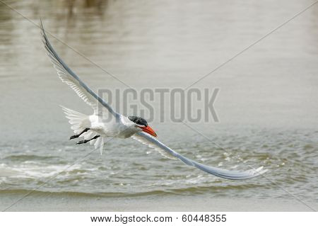 Caspian Tern Airborne Again After A Dive