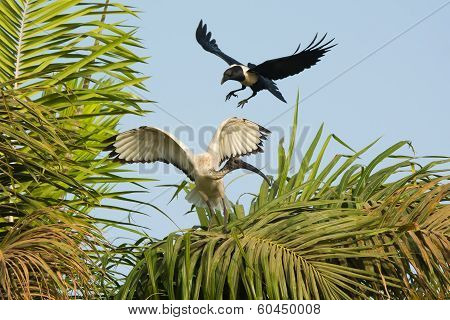 Sacred Ibis Being Harrassed By A Pied Crow