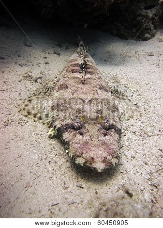 A crocodilefish lies in ambush in the sand, camouflaged poster