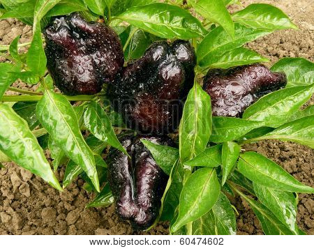 black sweet peppers growing in a garden top view