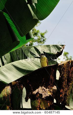 A Great Kiskadee sitting on Bananas leaf poster