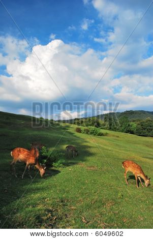 Deers feeding on pasture in the shade. Deers are seen as a religious symbol in Japan. Suitable for concepts such as serenity and tranquility travel and vacation and generic concepts such as earth environment and pollution. poster