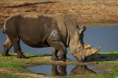 Portrait of a White Rhinoceros standing near a pond in the early evening sun poster