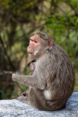 Bonnet macaque mother with young in Mudumalai National Park India. poster