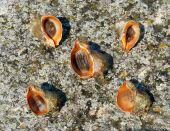 The Shells and mollusks of rapana venosa. poster