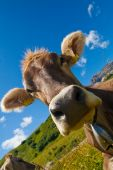 Alpine cow on a green meadow. Very close view poster