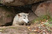 Blonde Wolf (Canis lupus) Climbs Out of Den - captive animal poster