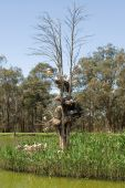 Australian Ibis nest in a dead tree surrounded by reeds in the middle of a waterhole poster