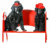 dog couple - two standard poodle puppies sitting on a red bench poster