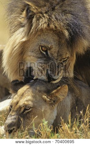 Male Lion biting Lioness on savannah poster