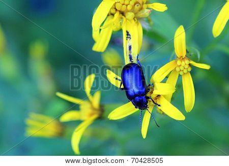blue bug on yellow flower