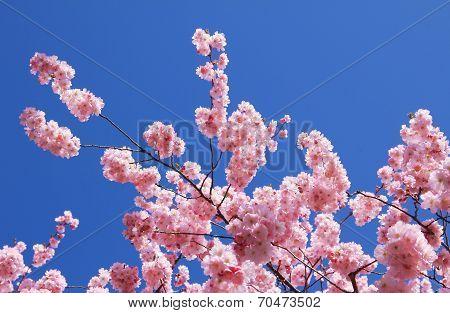Twigs Of An Flowering Cherry Tree, Full Bloom
