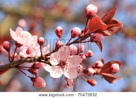 Bloom Of An Flowering Cherry Tree