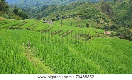Terraced Rice Fields In Sapa