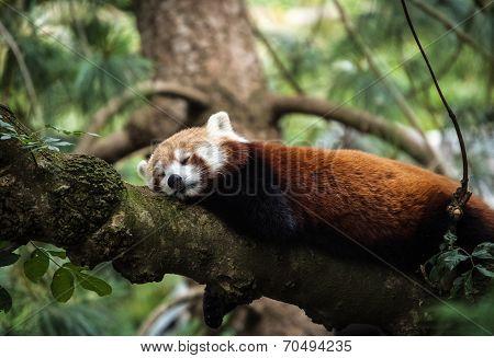Snoozy Red Panda