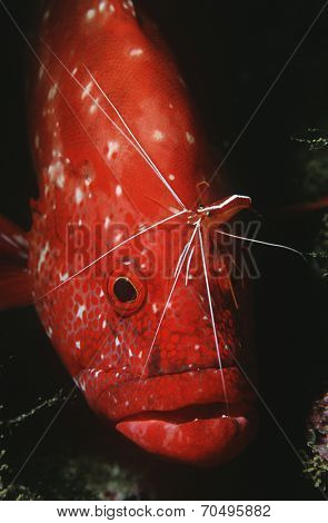 Mozambique, Indian Ocean, tomato rockcod (Cephalophlis sonnerati) being cleaned by cleaner shrimp (Lysmata amboinensis), close-up