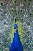 Peacock displaying feathers close-up poster