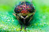 Close Up View Of The Eyes A Tabanus Abdominalis Horsefly With Raindrops poster