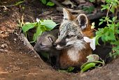 Grey Fox (Urocyon cinereoargenteus) and Kit Peer out of Den - captive animal poster