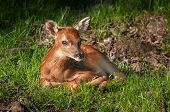 White-Tailed Deer Fawn (Odocoileus virginianus) Looks at Viewer - captive animal poster