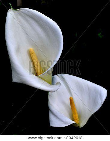 White Arum Lilien