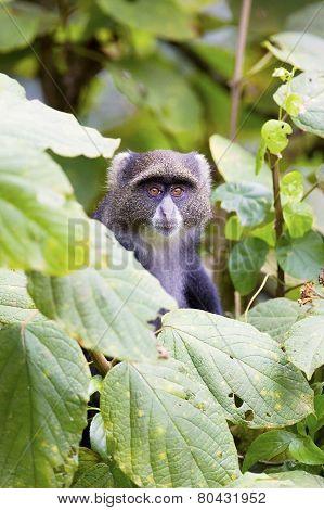Blue monkey in the tree