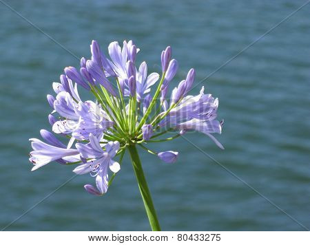 Blue blooming flower