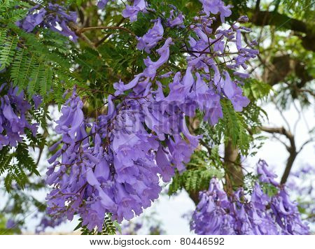 A lilac blooming Jacaranda tree